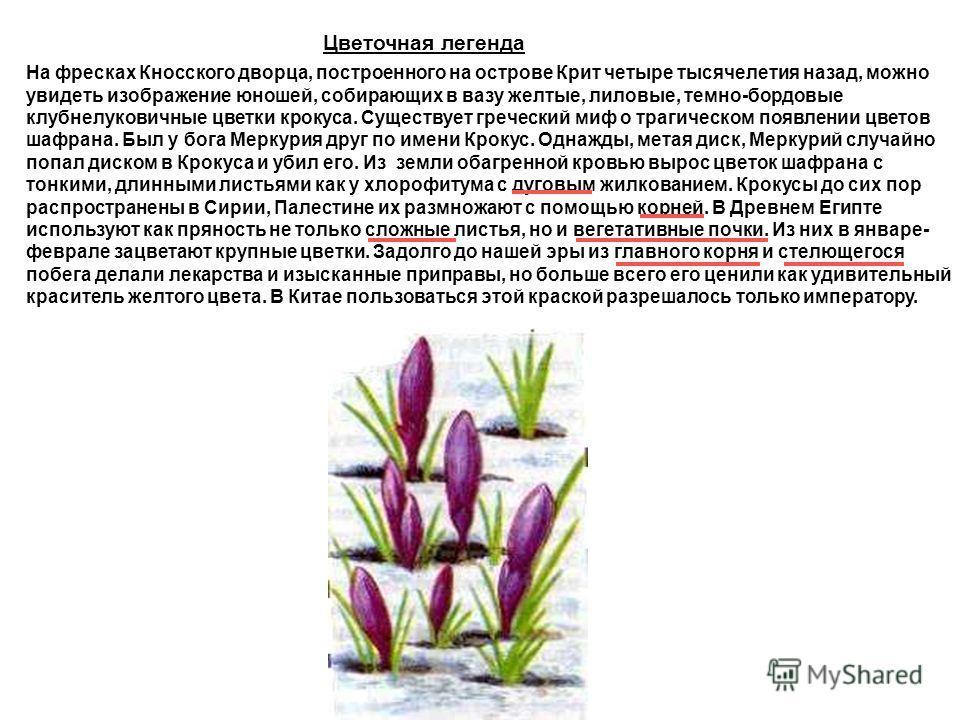 Цветочная легенда На фресках Кносского дворца, построенного на острове Крит четыре тысячелетия назад, можно увидеть изображение юношей, собирающих в вазу желтые, лиловые, темно-бордовые клубнелуковичные цветки крокуса. Существует греческий миф о траг