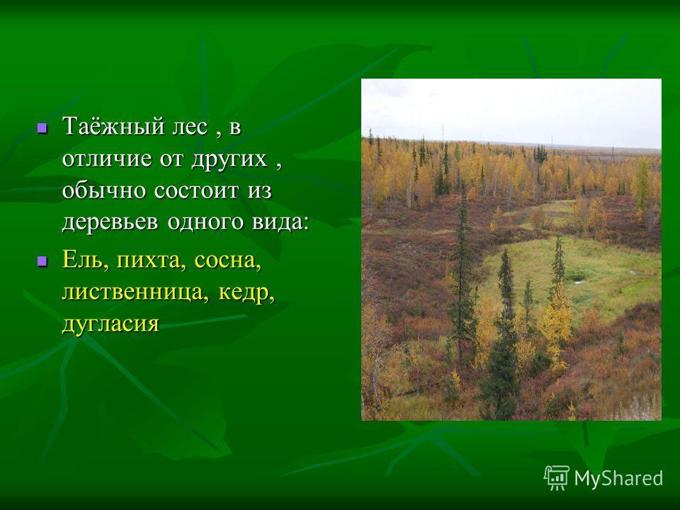 Таёжный лес, в отличие от других, обычно состоит из деревьев одного вида: Таёжный лес, в отличие от других, обычно состоит из деревьев одного вида: Ель, пихта, сосна, лиственница, кедр, дугласия Ель, пихта, сосна, лиственница, кедр, дугласия