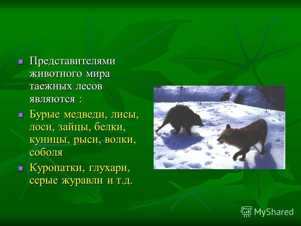 Представителями животного мира таежных лесов являются : Представителями животного мира таежных лесов являются : Бурые медведи, лисы, лоси, зайцы, белки, куницы, рыси, волки, соболя Бурые медведи, лисы, лоси, зайцы, белки, куницы, рыси, волки, соболя