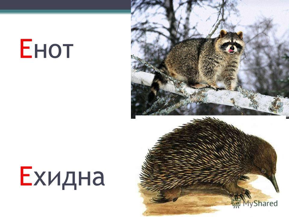 Енот Ехидна