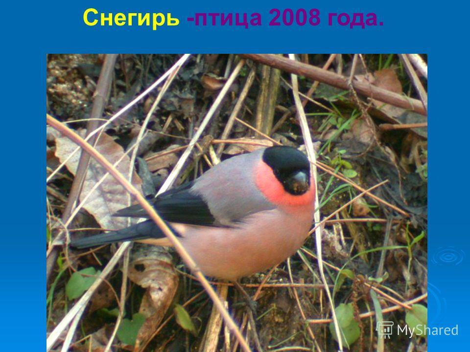 Снегирь -птица 2008 года.