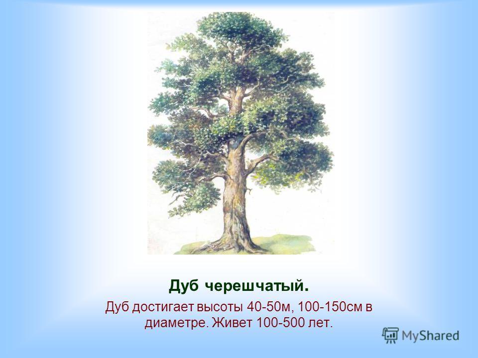 Дуб черешчатый. Дуб достигает высоты 40-50м, 100-150см в диаметре. Живет 100-500 лет.