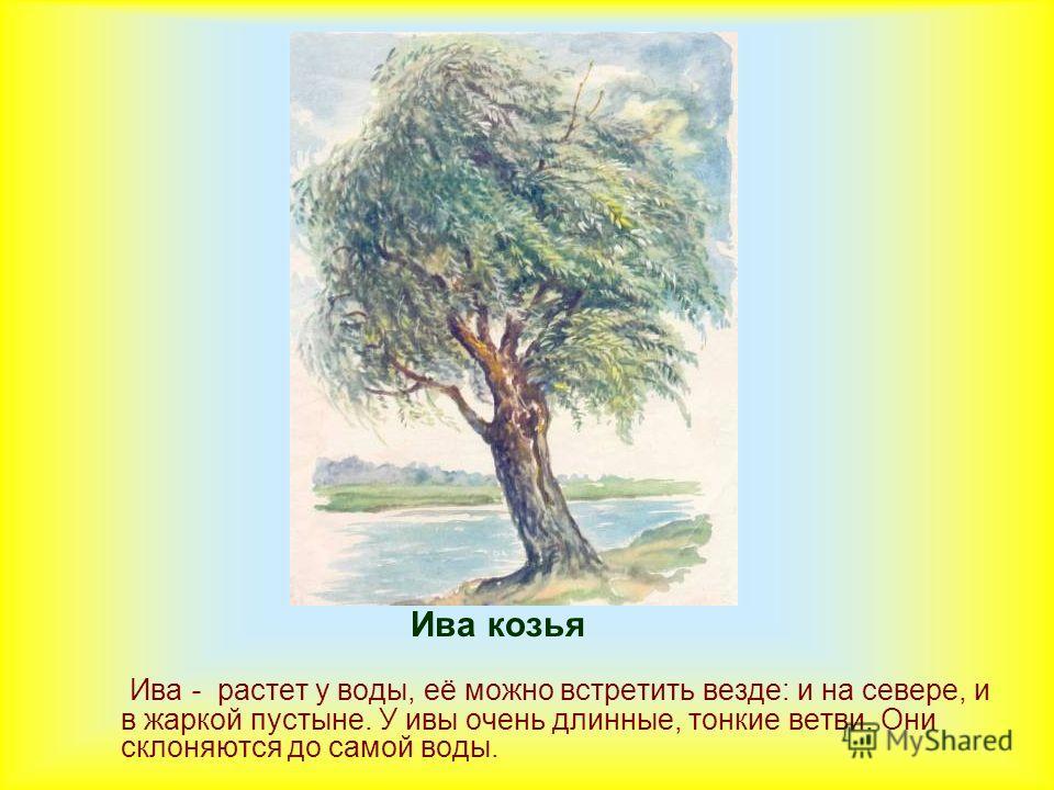 Ива козья Ива - растет у воды, её можно встретить везде: и на севере, и в жаркой пустыне. У ивы очень длинные, тонкие ветви. Они склоняются до самой воды.