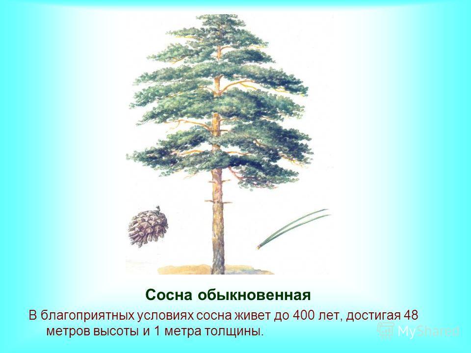 Сосна обыкновенная В благоприятных условиях сосна живет до 400 лет, достигая 48 метров высоты и 1 метра толщины.