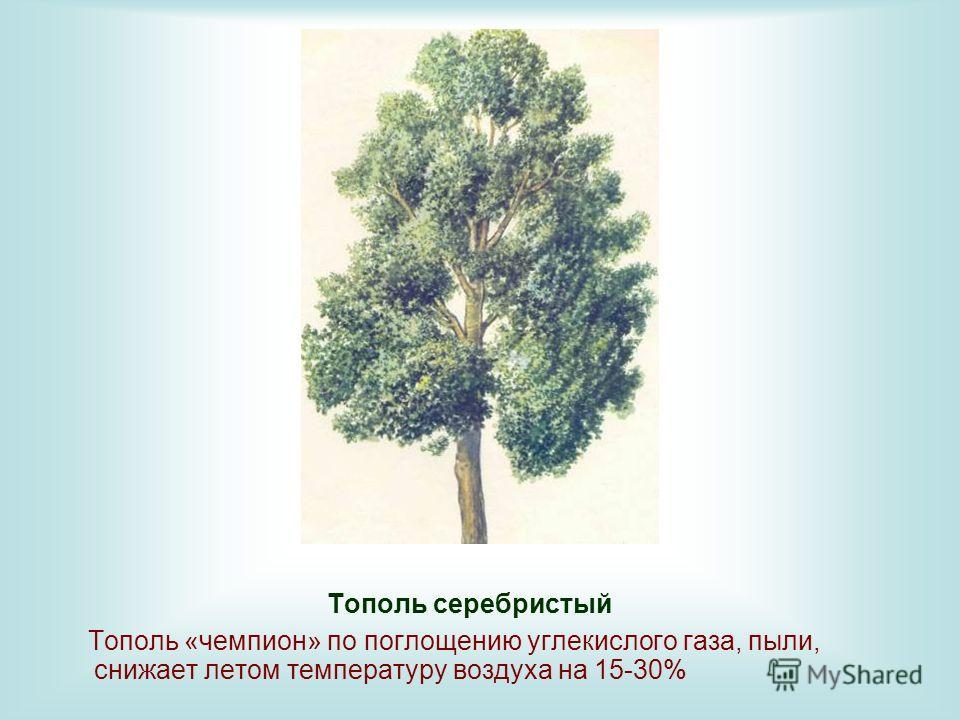 Тополь серебристый Тополь «чемпион» по поглощению углекислого газа, пыли, снижает летом температуру воздуха на 15-30%