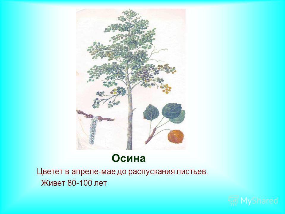 Осина Цветет в апреле-мае до распускания листьев. Живет 80-100 лет