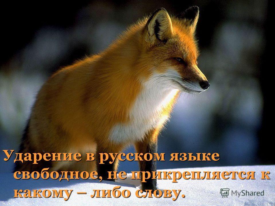 Ударение в русском языке свободное, не прикрепляется к какому – либо слову.