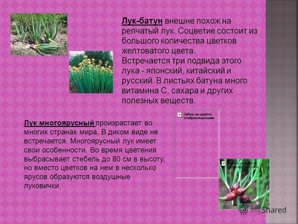 Лук-батун внешне похож на репчатый лук. Соцветие состоит из большого количества цветков желтоватого цвета. Встречается три подвида этого лука - японский, китайский и русский. В листьях батуна много витамина С, сахара и других полезных веществ. Лук мн