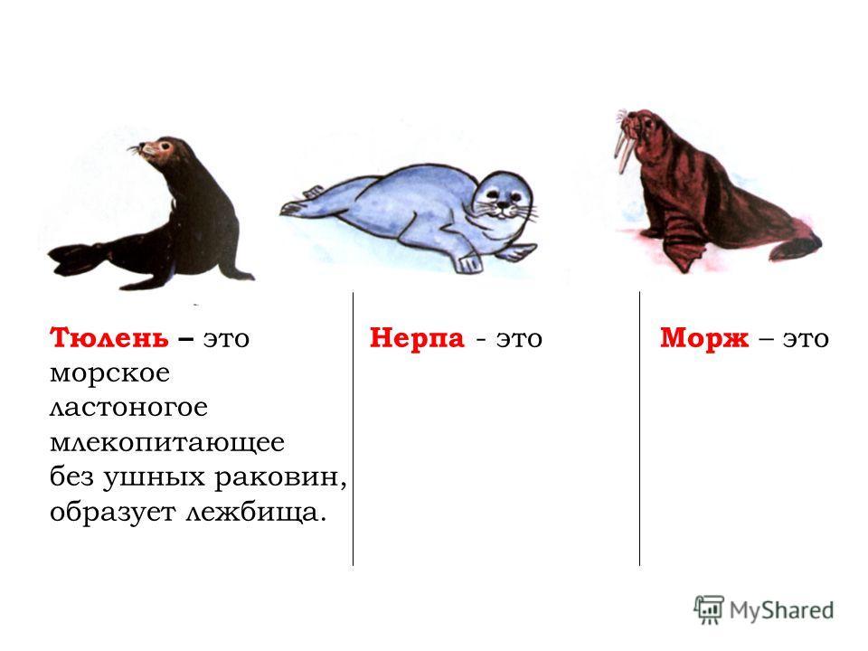 Тюлень – это Нерпа - это Морж – это морское ластоногое млекопитающее без ушных раковин, образует лежбища.