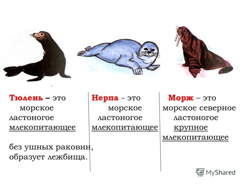 Тюлень – это Нерпа - это Морж – это морское морское морское северное ластоногое ластоногое ластоногое млекопитающее млекопитающее крупное млекопитающее без ушных раковин, образует лежбища.