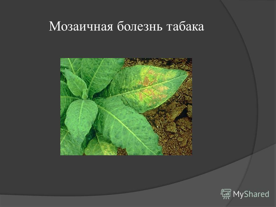 Мозаичная болезнь табака