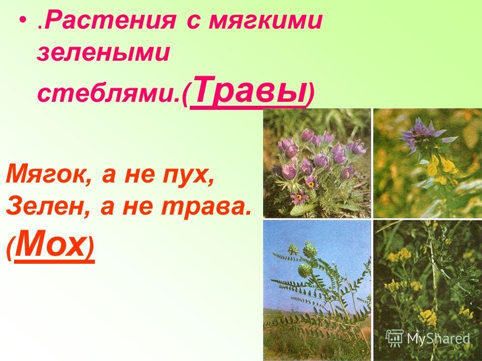 .Растения с мягкими зелеными стеблями.( Травы ) Мягок, а не пух, Зелен, а не трава. ( Мох )