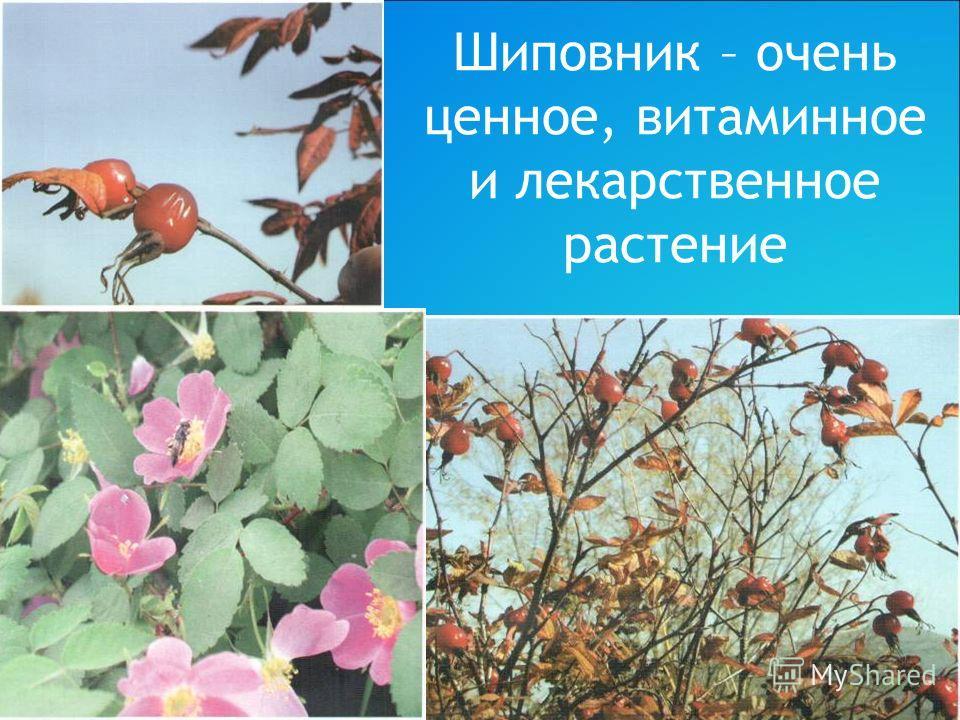 Шиповник – очень ценное, витаминное и лекарственное растение