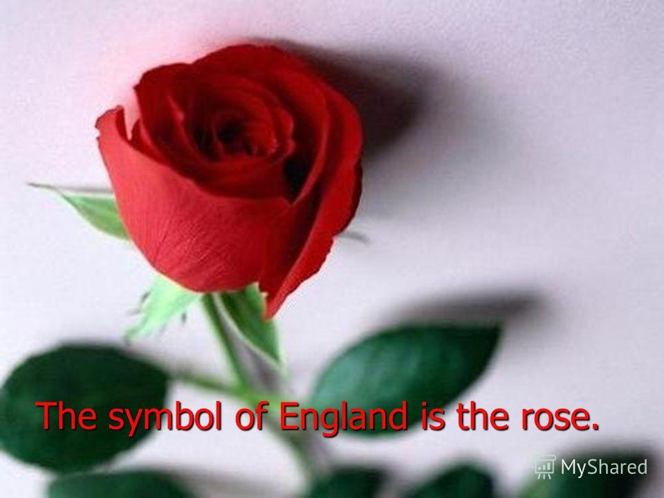 The symbol of England is the rose.