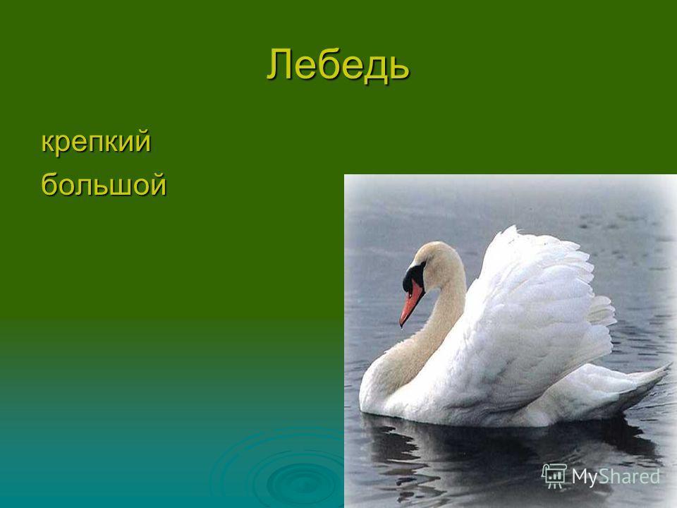 Лебедь крепкийбольшой