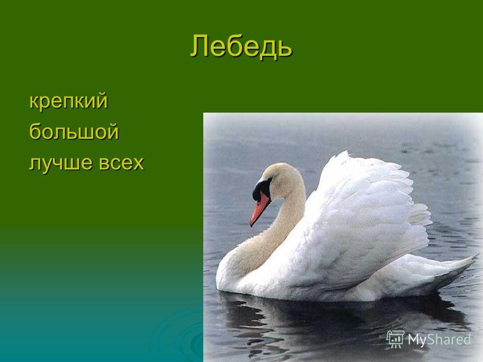 Лебедь крепкийбольшой лучше всех