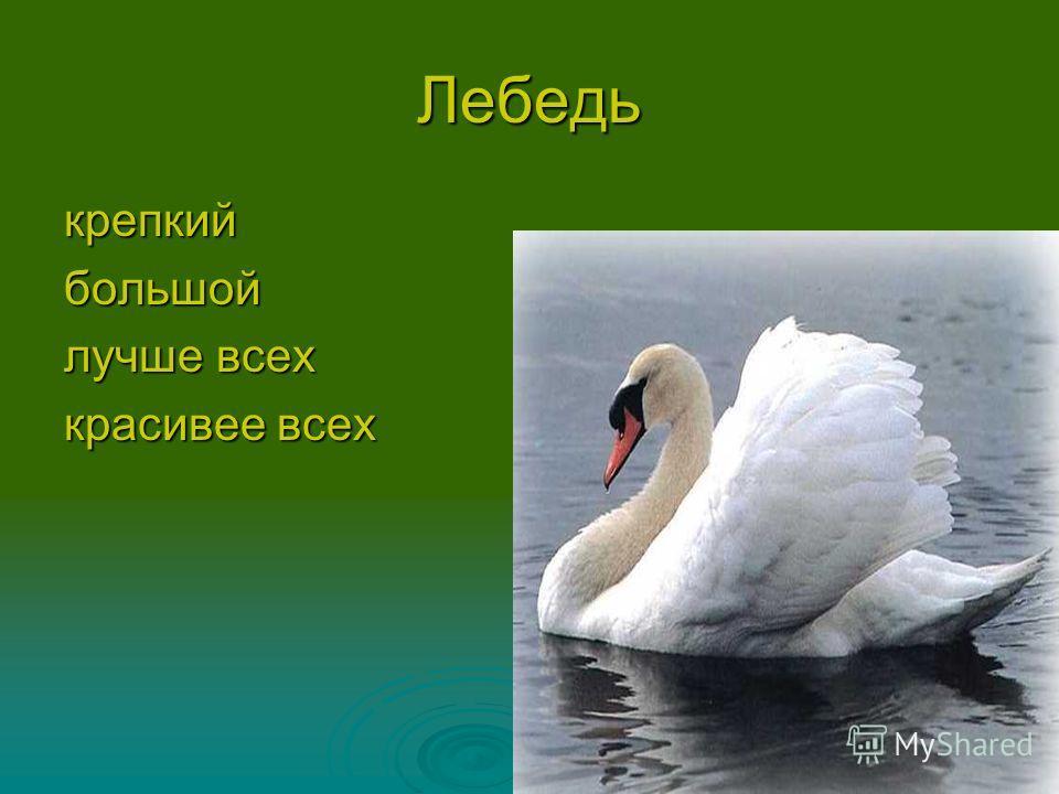 Лебедь крепкийбольшой красивее всех
