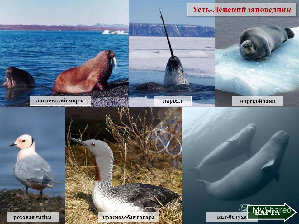 лаптевский морж морской заяц нарвал Усть-Ленский заповедник кит-белуха КАРТА розовая чайка краснозобая гагара