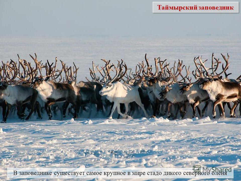 В заповеднике существует самое крупное в мире стадо дикого северного оленя Таймырский заповедник