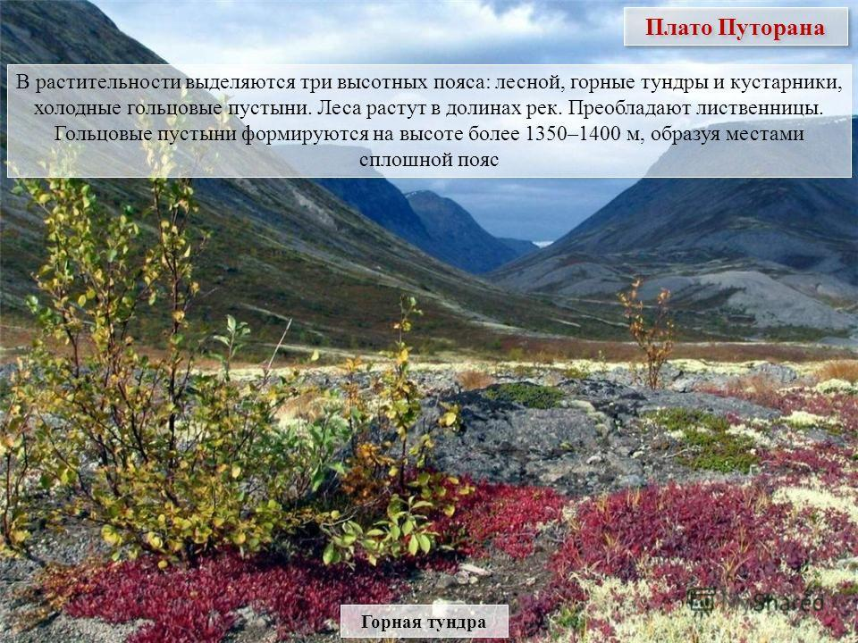 Плато Путорана В растительности выделяются три высотных пояса: лесной, горные тундры и кустарники, холодные гольцовые пустыни. Леса растут в долинах рек. Преобладают лиственницы. Гольцовые пустыни формируются на высоте более 1350–1400 м, образуя мест