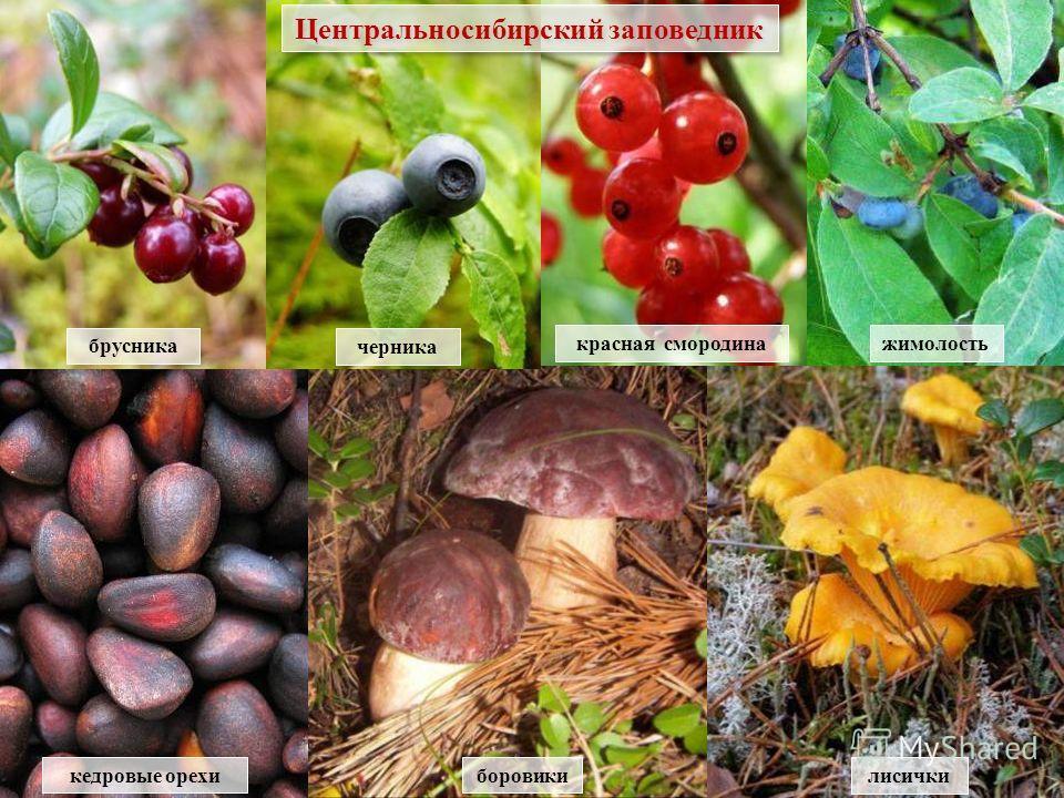 боровики кедровые орехи лисички красная смородинажимолость брусника черника Центральносибирский заповедник