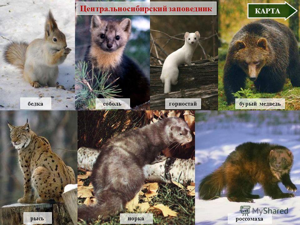 В МЕНЮ белка собольбурый медведь норка россомаха рысь горностай КАРТА Центральносибирский заповедник