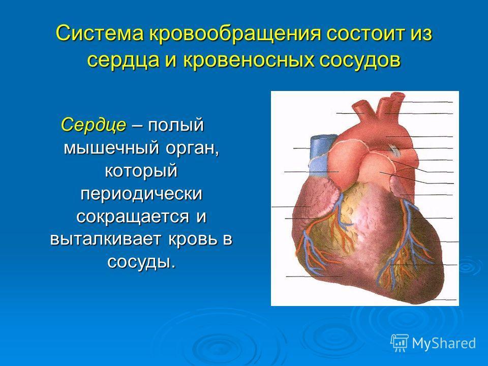 Система кровообращения состоит из сердца и кровеносных сосудов Сердце – полый мышечный орган, который периодически сокращается и выталкивает кровь в сосуды.