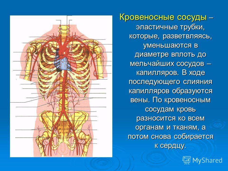 Кровеносные сосуды – эластичные трубки, которые, разветвляясь, уменьшаются в диаметре вплоть до мельчайших сосудов – капилляров. В ходе последующего слияния капилляров образуются вены. По кровеносным сосудам кровь разносится ко всем органам и тканям,
