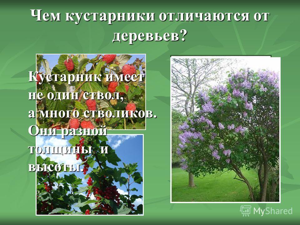Чем кустарники отличаются от деревьев? Кустарник имеет не один ствол, а много стволиков. Они разной толщины и высоты.