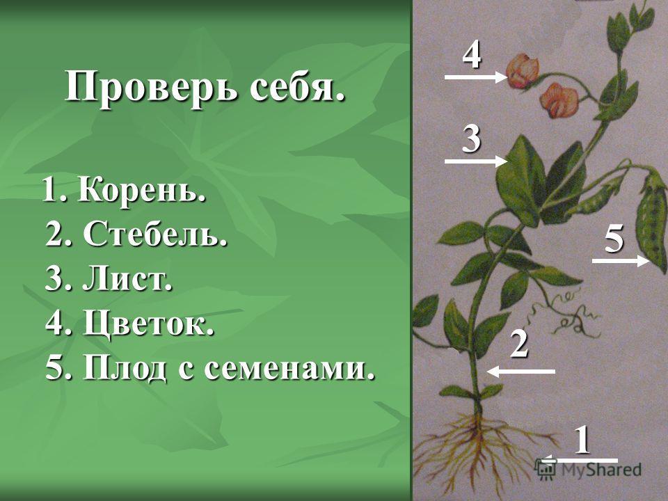 Проверь себя. Проверь себя. 1 2 3 4 5 1. Корень. 2. Стебель. 3. Лист. 4. Цветок. 5. Плод с семенами. 1. Корень. 2. Стебель. 3. Лист. 4. Цветок. 5. Плод с семенами.