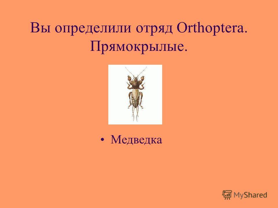 Вы определили отряд Orthoptera. Прямокрылые. Медведка