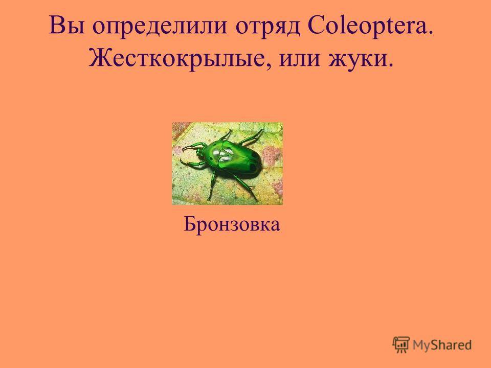 Вы определили отряд Coleoptera. Жесткокрылые, или жуки. Бронзовка