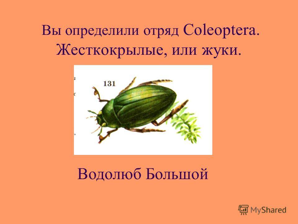 Вы определили отряд Coleoptera. Жесткокрылые, или жуки. Водолюб Большой