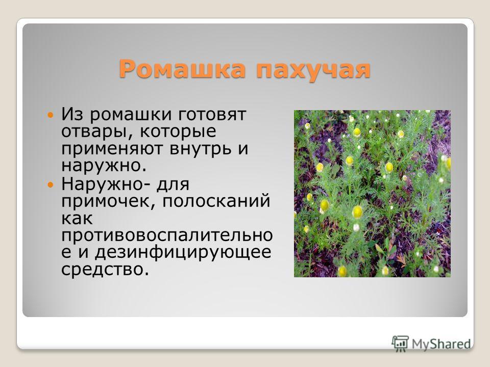 Ромашка пахучая Из ромашки готовят отвары, которые применяют внутрь и наружно. Наружно- для примочек, полосканий как противовоспалительно е и дезинфицирующее средство.