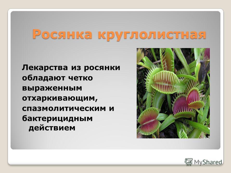 Росянка круглолистная Лекарства из росянки обладают четко выраженным отхаркивающим, спазмолитическим и бактерицидным действием