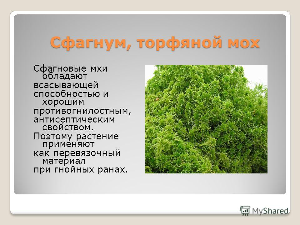 Сфагнум, торфяной мох Сфагновые мхи обладают всасывающей способностью и хорошим противогнилостным, антисептическим свойством. Поэтому растение применяют как перевязочный материал при гнойных ранах.