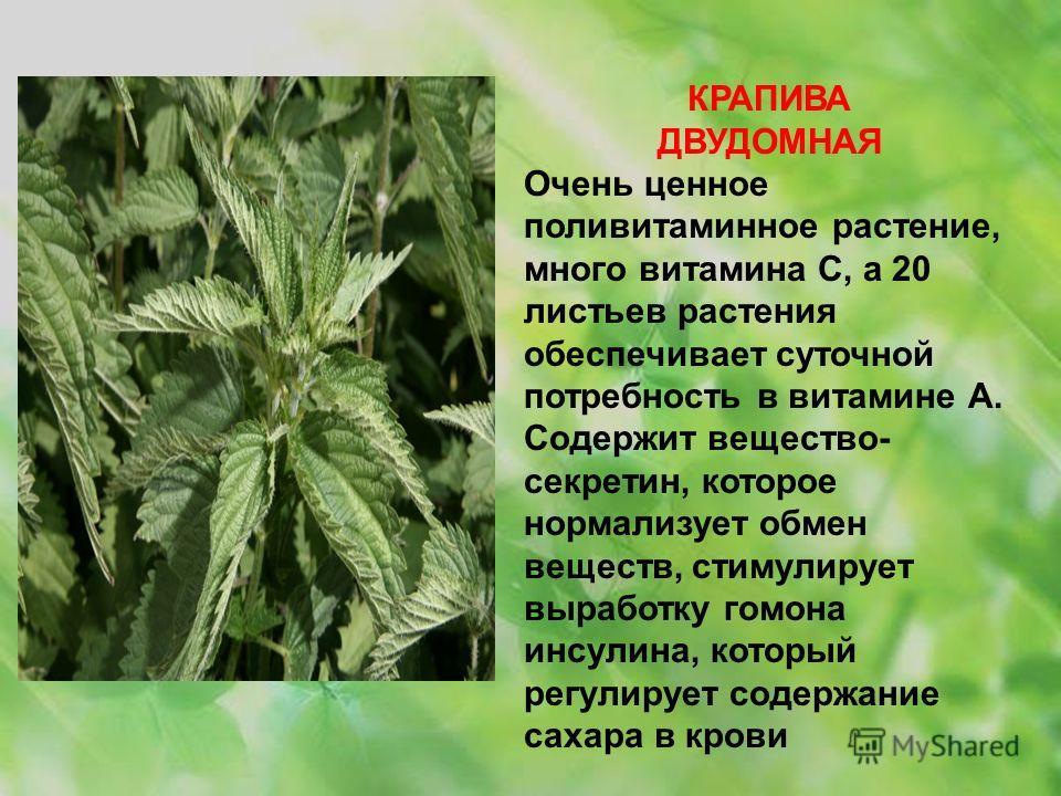 КРАПИВА ДВУДОМНАЯ Очень ценное поливитаминное растение, много витамина С, а 20 листьев растения обеспечивает суточной потребность в витамине А. Содержит вещество- секретин, которое нормализует обмен веществ, стимулирует выработку гомона инсулина, кот