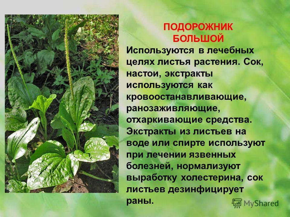 ПОДОРОЖНИК БОЛЬШОЙ Используются в лечебных целях листья растения. Сок, настои, экстракты используются как кровоостанавливающие, ранозаживляющие, отхаркивающие средства. Экстракты из листьев на воде или спирте используют при лечении язвенных болезней,