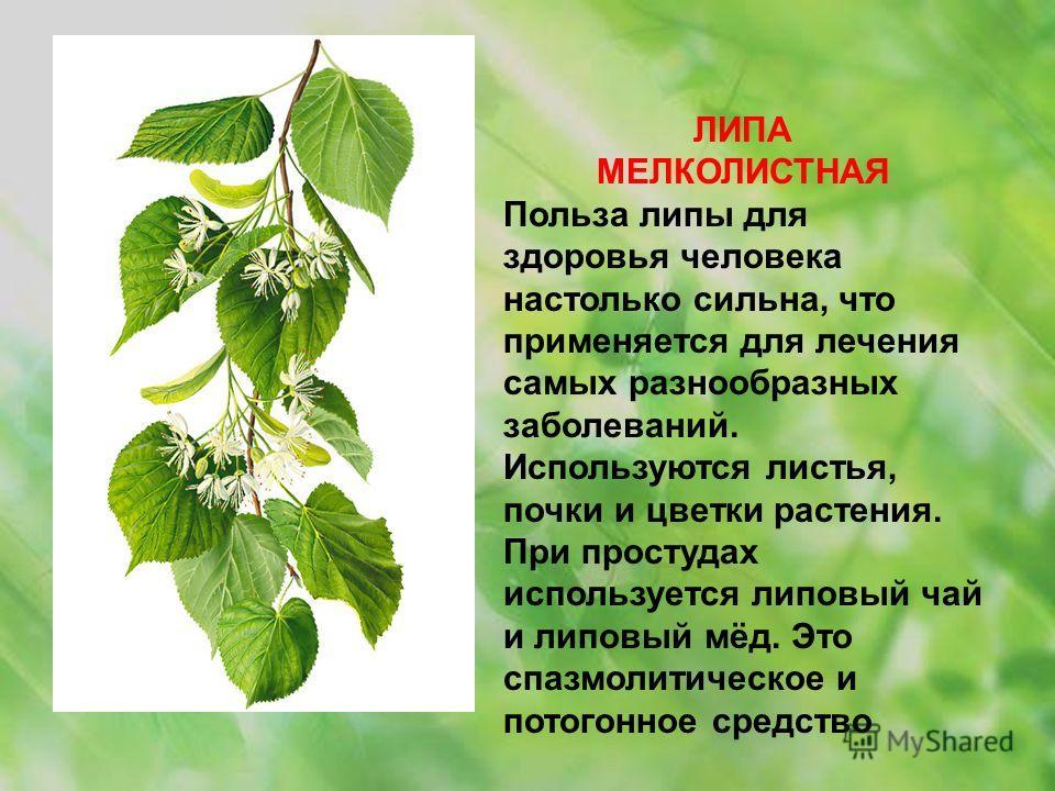 ЛИПА МЕЛКОЛИСТНАЯ Польза липы для здоровья человека настолько сильна, что применяется для лечения самых разнообразных заболеваний. Используются листья, почки и цветки растения. При простудах используется липовый чай и липовый мёд. Это спазмолитическо