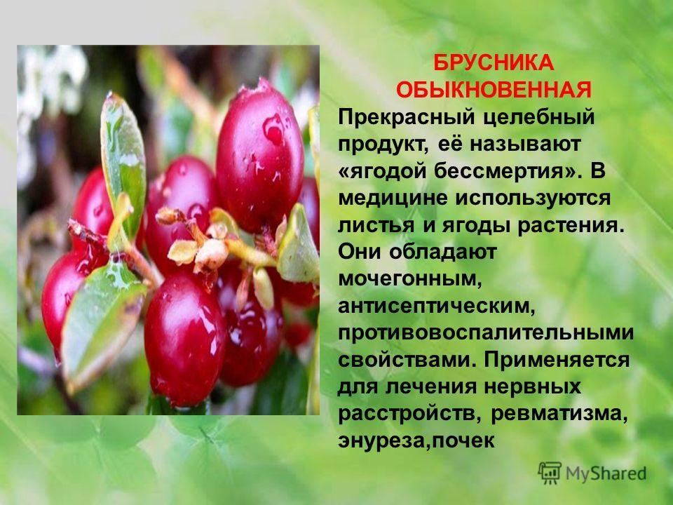 БРУСНИКА ОБЫКНОВЕННАЯ Прекрасный целебный продукт, её называют «ягодой бессмертия». В медицине используются листья и ягоды растения. Они обладают мочегонным, антисептическим, противовоспалительными свойствами. Применяется для лечения нервных расстрой