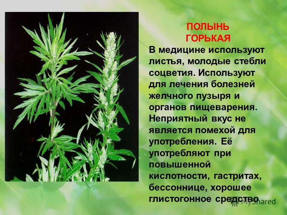 ПОЛЫНЬ ГОРЬКАЯ В медицине используют листья, молодые стебли соцветия. Используют для лечения болезней желчного пузыря и органов пищеварения. Неприятный вкус не является помехой для употребления. Её употребляют при повышенной кислотности, гастритах, б