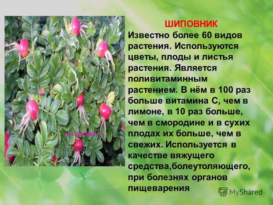 ШИПОВНИК Известно более 60 видов растения. Используются цветы, плоды и листья растения. Является поливитаминным растением. В нём в 100 раз больше витамина С, чем в лимоне, в 10 раз больше, чем в смородине и в сухих плодах их больше, чем в свежих. Исп