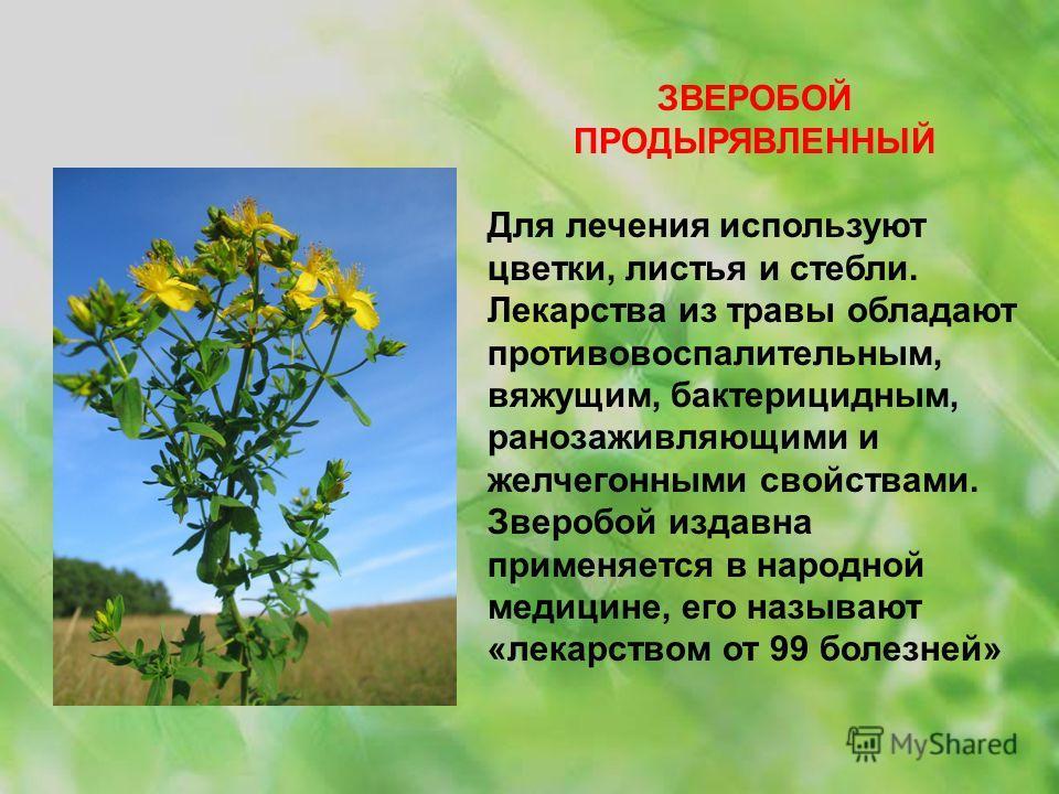 ЗВЕРОБОЙ ПРОДЫРЯВЛЕННЫЙ Для лечения используют цветки, листья и стебли. Лекарства из травы обладают противовоспалительным, вяжущим, бактерицидным, ранозаживляющими и желчегонными свойствами. Зверобой издавна применяется в народной медицине, его назыв