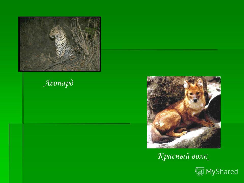 Леопард Красный волк