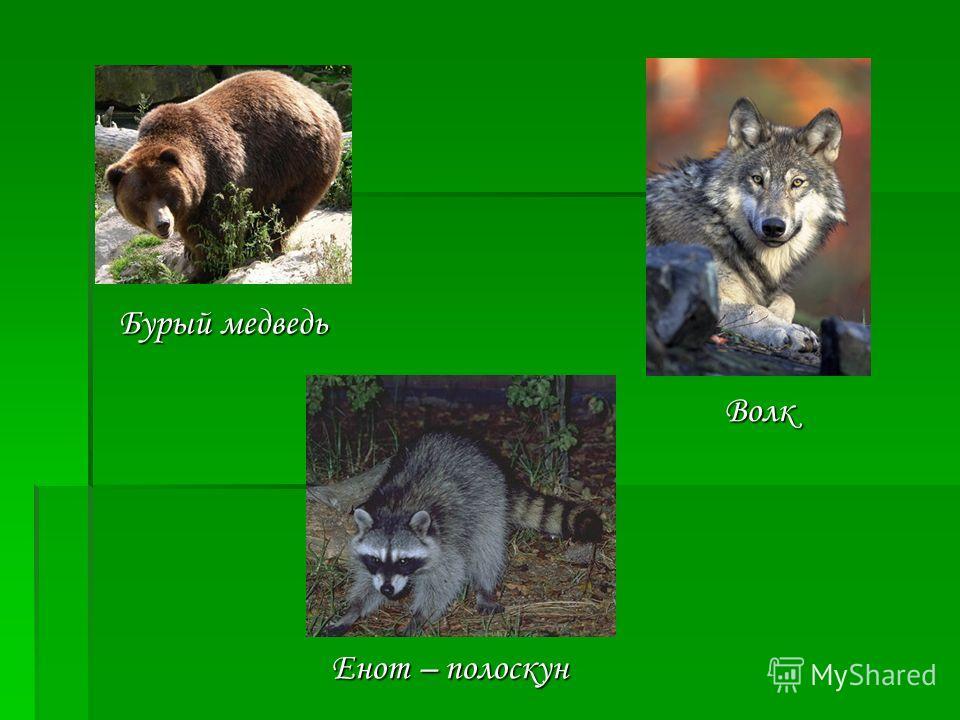 Бурый медведь Волк Енот – полоскун