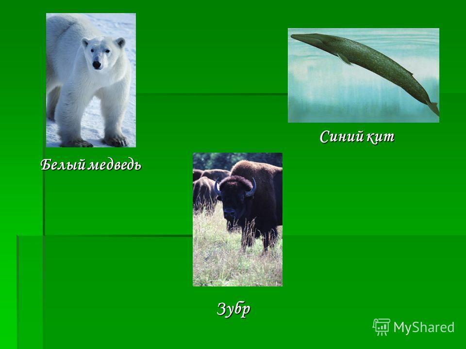 Белый медведь Белый медведь Синий кит Зубр
