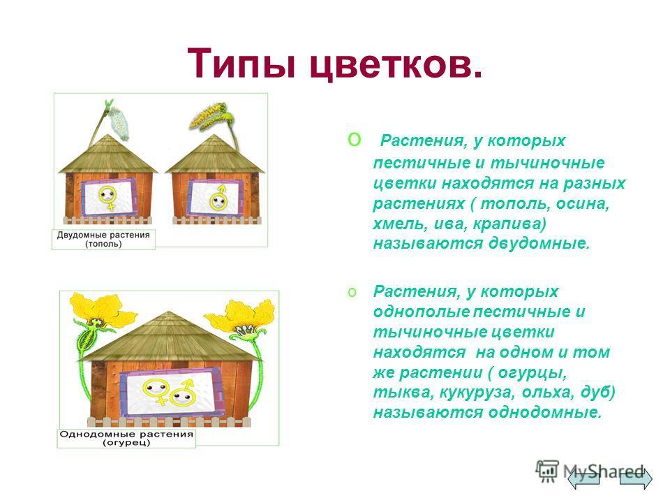 Типы цветков. o Растения, у которых пестичные и тычиночные цветки находятся на разных растениях ( тополь, осина, хмель, ива, крапива) называются двудомные. oРастения, у которых однополые пестичные и тычиночные цветки находятся на одном и том же расте
