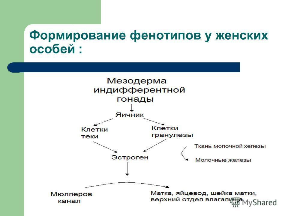 Формирование фенотипов у женских особей :
