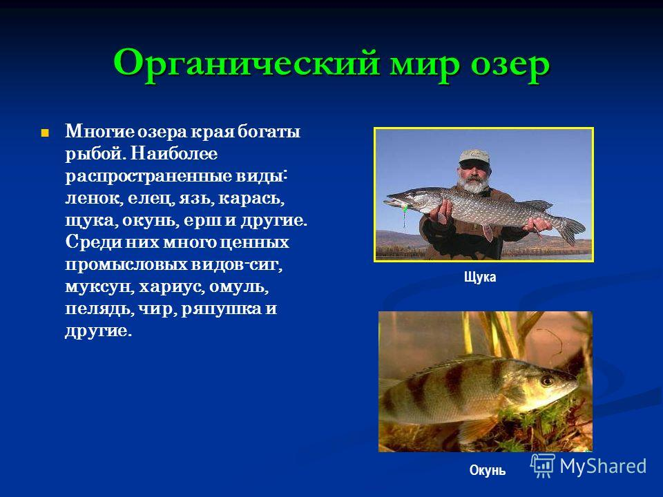 Органический мир озер Многие озера края богаты рыбой. Наиболее распространенные виды: ленок, елец, язь, карась, щука, окунь, ерш и другие. Среди них много ценных промысловых видов-сиг, муксун, хариус, омуль, пелядь, чир, ряпушка и другие. Щука Окунь