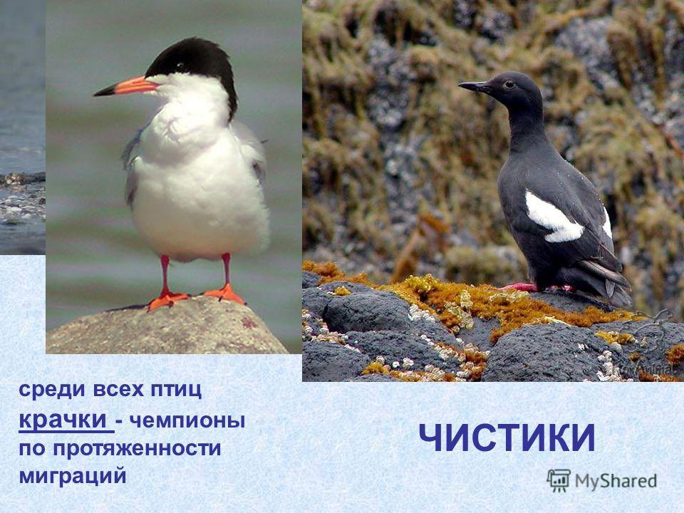КРАЧКИ среди всех птиц крачки - чемпионы по протяженности миграций ЧИСТИКИ